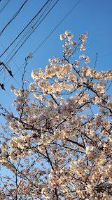 20210405外の様子夕方桜2