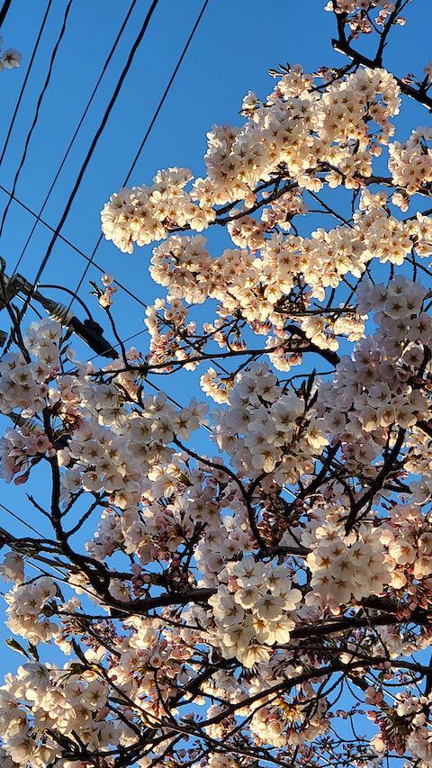 20210405外の様子夕方桜4