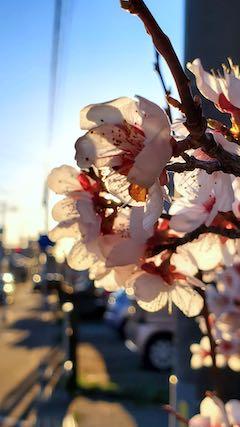 20210405外の様子夕方梅の花1