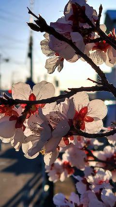 20210405外の様子夕方梅の花2