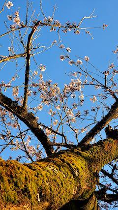 20210405外の様子夕方桜7