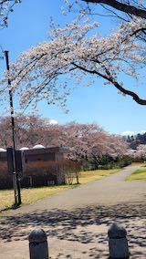 20210411外の様子昼前広面の公園内と太平川沿いの桜