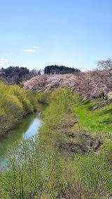 20210411外の様子昼前広面大橋より太平川沿いの桜を望む