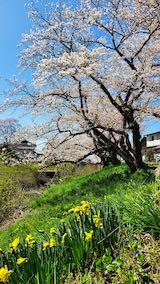 20210411外の様子昼前桜大橋近くの太平川沿いの桜1