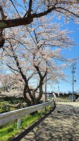 20210411外の様子昼前桜大橋近くの太平川沿いの桜2