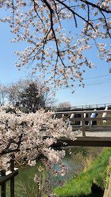20210411外の様子昼前桜大橋近くの太平川沿いの桜3