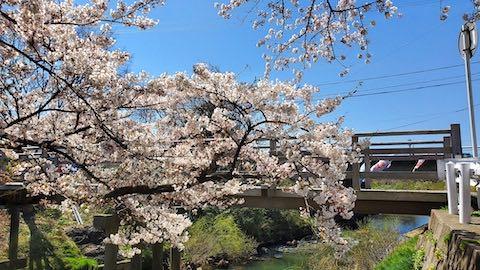 20210411外の様子昼前桜大橋近くの太平川沿いの桜4