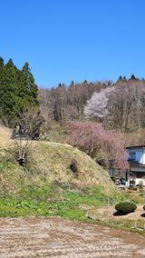 20210411山へ向かう途中の枝垂れ桜の様子