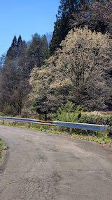 20210411山へ向かう途中の峠道の様子こぶしの花