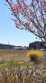 20210411山の出入り口付近から望んだ花梅の花