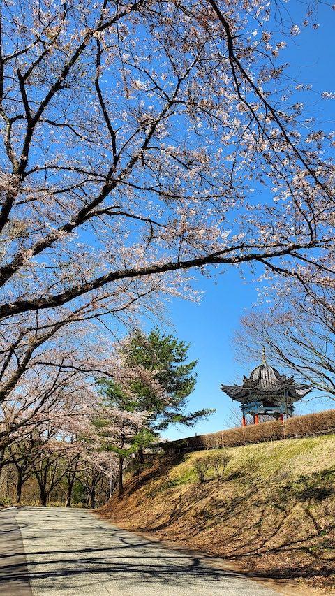 20210411外の様子昼過ぎ一つ森公園の桜1