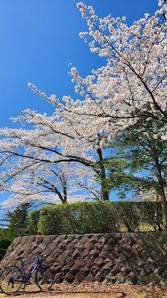 20210411外の様子昼過ぎ一つ森公園入口の桜1