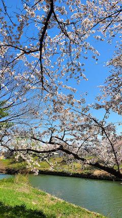 20210411外の様子昼過ぎ楢山川口境の太平川の桜1