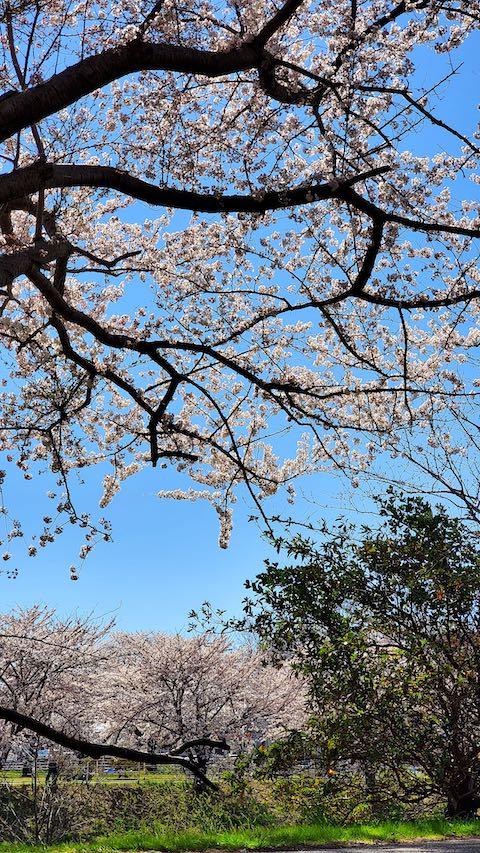 20210411外の様子昼過ぎ楢山川口境の太平川の桜3