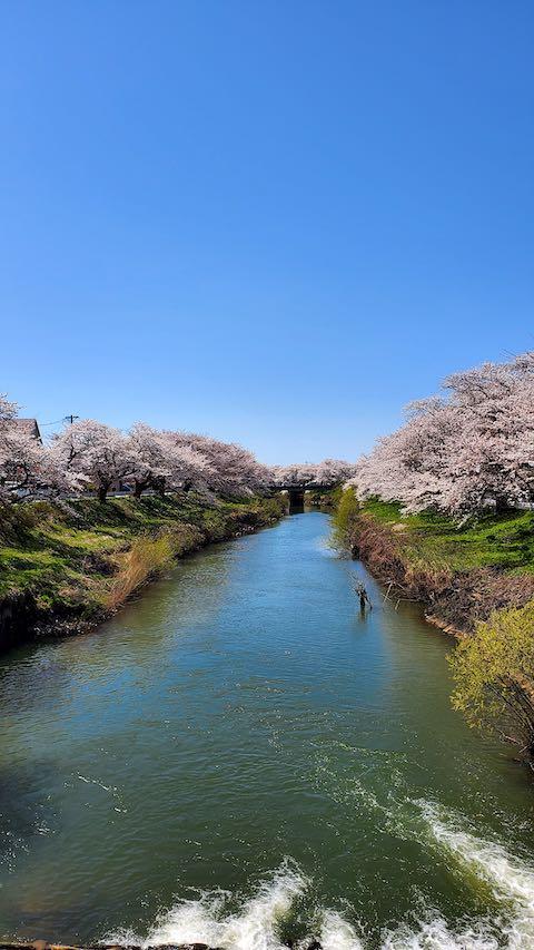 20210411外の様子昼過ぎ百石橋から望んだ太平川の桜1