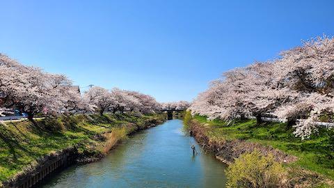 20210411外の様子昼過ぎ百石橋から望んだ太平川の桜2