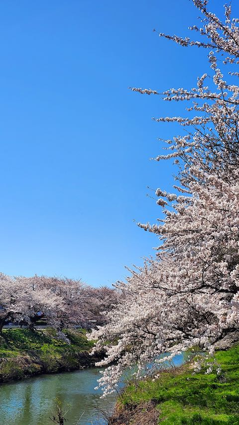 20210411外の様子昼過ぎ百石橋から望んだ太平川の桜3