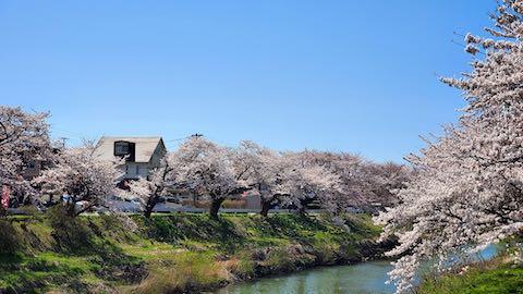 20210411外の様子昼過ぎ百石橋から望んだ太平川の桜4