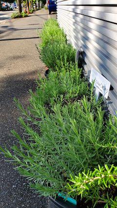 20210823お店前の鉢植えラベンダー