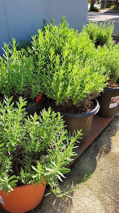 20210823お店横の鉢植えラベンダー