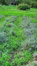 20210823草取りと刈り込み前の早咲きラベンダーこいむらさきの列1