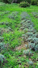 20210823草取りと刈り込み前の早咲きラベンダーこいむらさきの列2