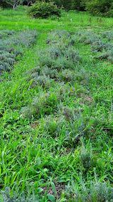 20210823草取りと刈り込み前の早咲きラベンダーこいむらさきの列3