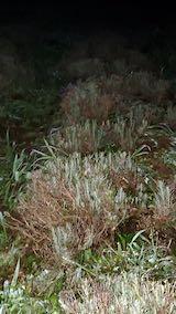 20210823草取りと刈り込み後の早咲きラベンダーこいむらさきの列3