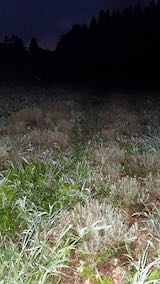 20210823草取りと刈り込み後の早咲きラベンダーこいむらさきの列2