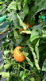 20210824野菜畑トマト