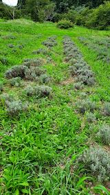 20210824昨日草取りと刈り込みを終えたラベンダーこいむらさきの列