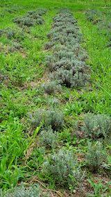 20210824草取りと刈り込み前のラベンダーこいむらさきの列1