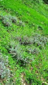20210824草取りと刈り込み前のラベンダーこいむらさきの列2