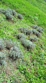 20210824草取りと刈り込み後のラベンダーこいむらさきの列3
