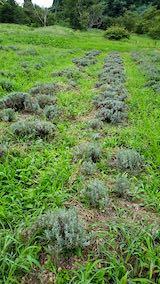 20210824草取りと刈り込み後のラベンダーこいむらさきの列1