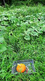 20210827今季初めてのカボチャの収穫3