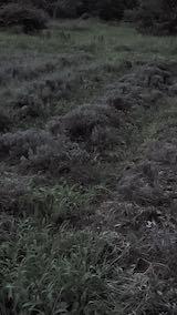 20210830刈り込み後のラベンダーの列32