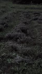 202108309刈り込み前のラベンダーの列1