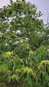 20210830山の様子栗の木