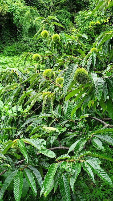 20210830山の様子栗の木イガ