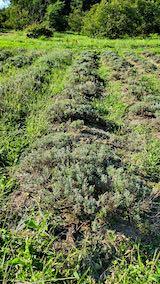 20210902昨日草取りと刈り込みを終えたラベンダーの列