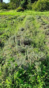 20210902草取りと刈り込み前のラベンダーの列1