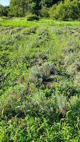 20210902草取りと刈り込み前のラベンダーの列2