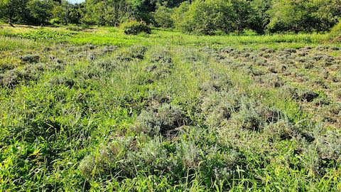 20210902ラベンダー畑の草取りと刈り込み前1
