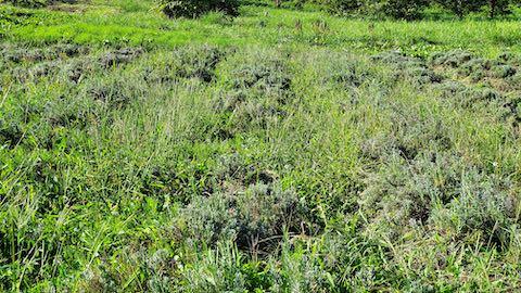 20210902ラベンダー畑の草取りと刈り込み前2