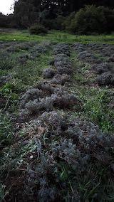 20210902草取りと刈り込み後のラベンダーの列1