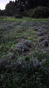 20210902草取りと刈り込み後のラベンダーの列2