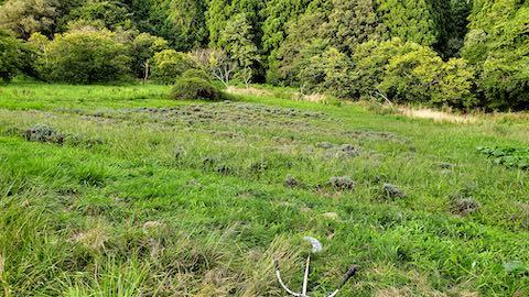 20210903草刈り前のラベンダー畑4
