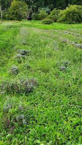 20210903草刈り前のラベンダー畑1