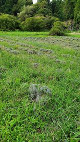 20210903草刈り前のラベンダー畑2